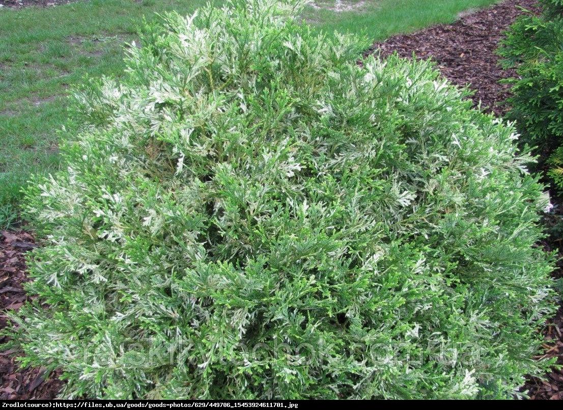 Żywotnikowiec japoński Variegata - Thujopsis dolabrata  Variegata