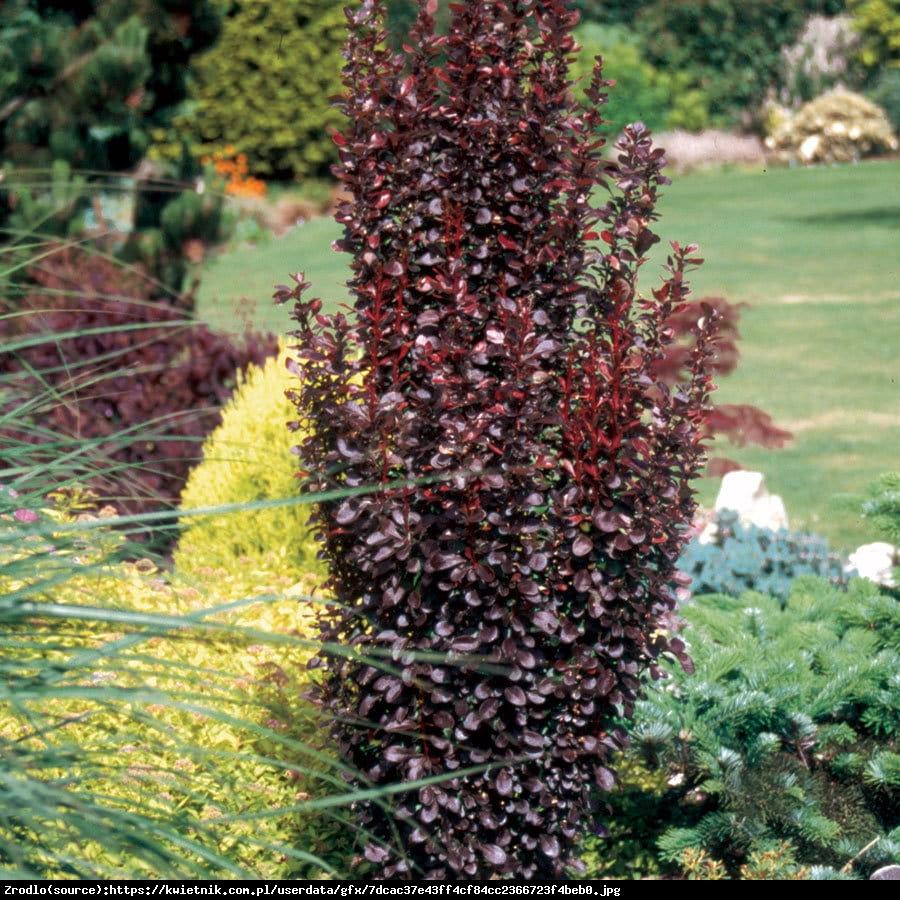 Berberys thunberga Red Pillar - Berberis thunbergii Red Pillar