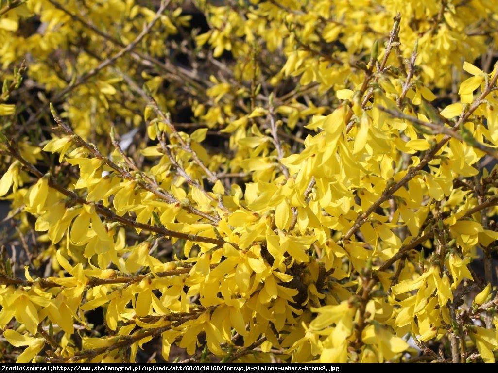 Forsycja zielona Webers Bronx  - Forsythia viridissima Webers Bronx