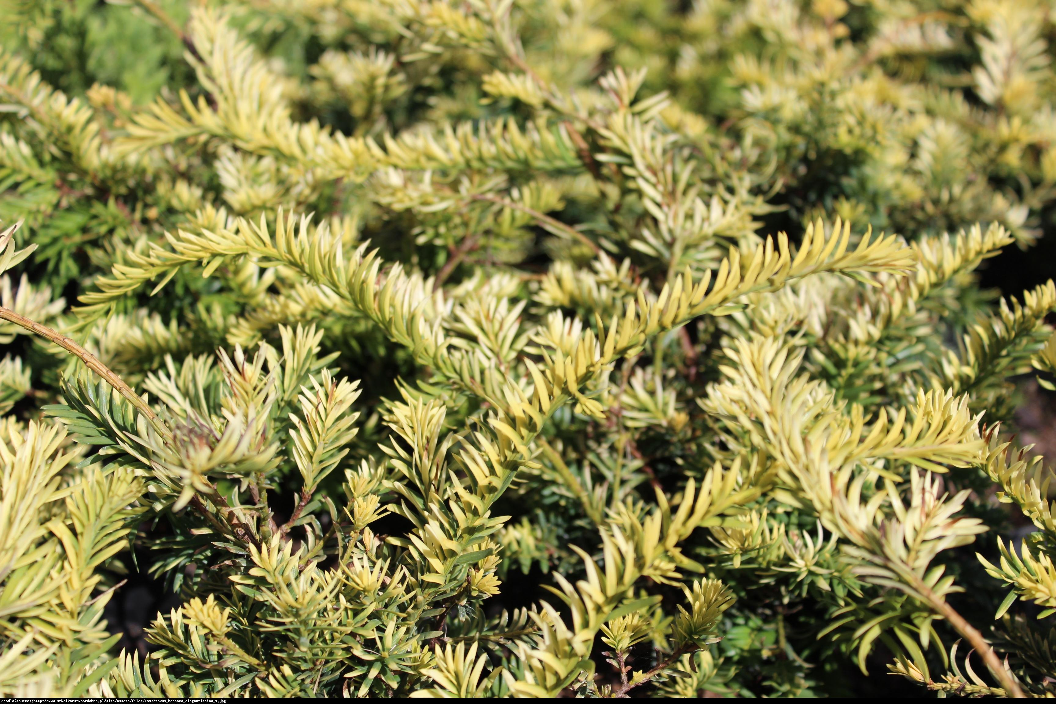 Cis pospolity Elegantissima  - Taxus baccata  Elegantissima