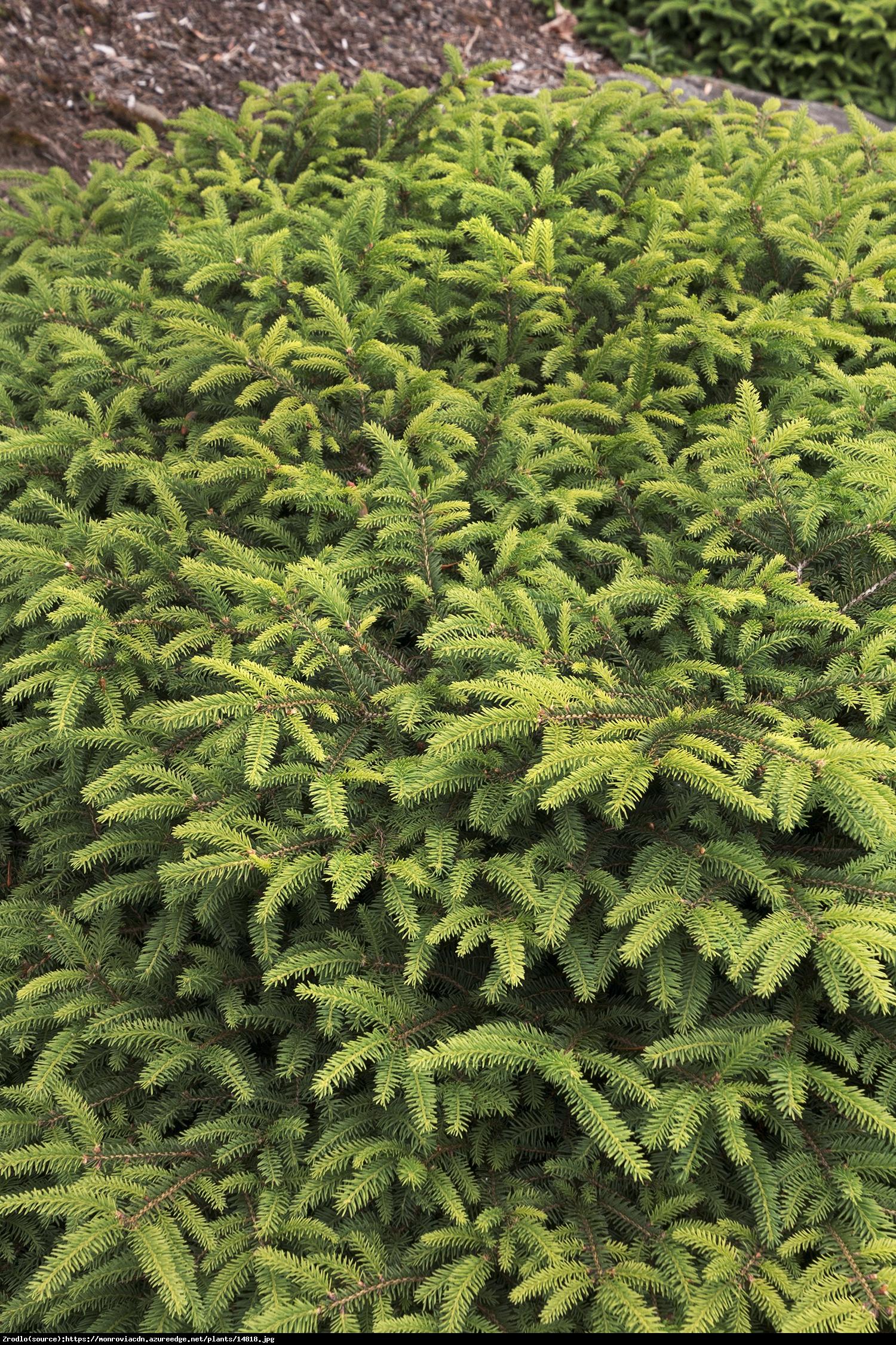 Świerk pospolity Nidiformis  - Picea abies Nidiformis