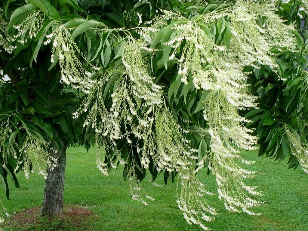 Kwaśnodrzew konwaliowy - Oxydendrum arboreum