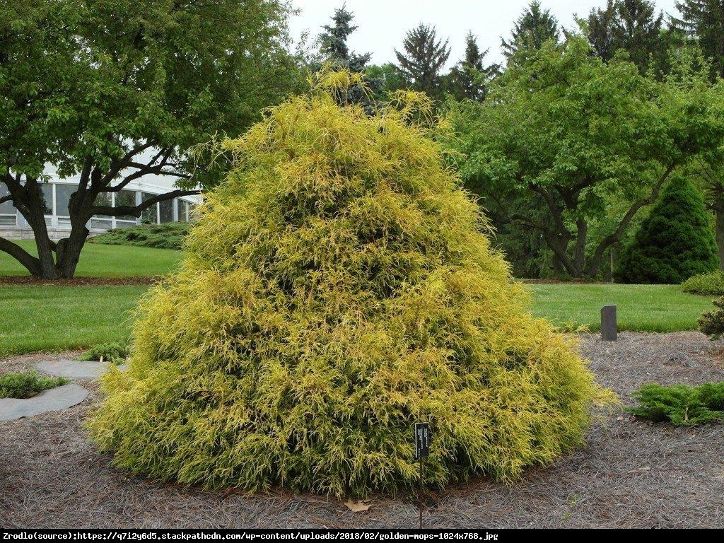 Cyprysik groszkowy Golden Mop  - Chamaecyparis pisifera  Golden Mop