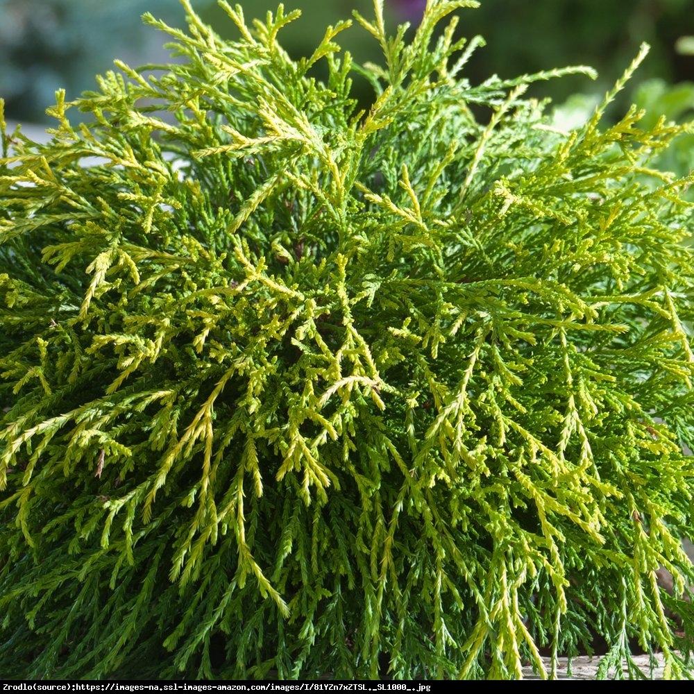 Cyprysik groszkowy Sungold  - Chamaecyparis pisifera Sungold