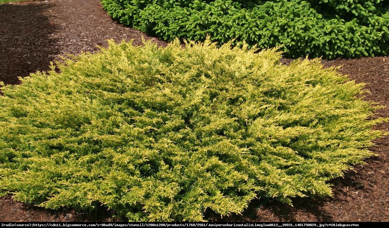 Jałowiec płożący Limeglow  - Juniperus horizontalis  Limeglow