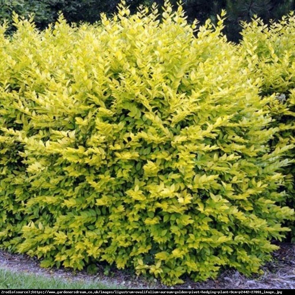 Ligustr jajolistny Aureum  - Ligustrum ovalifolium Aureum