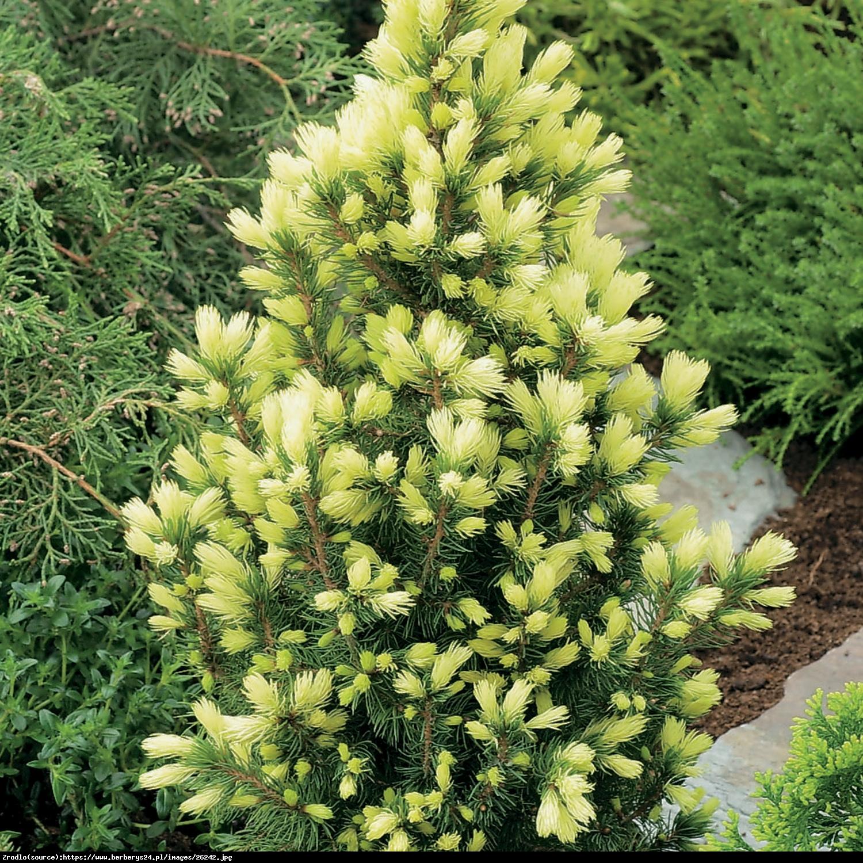 Świerk biały Daisys White  - Picea glauca Daisys White