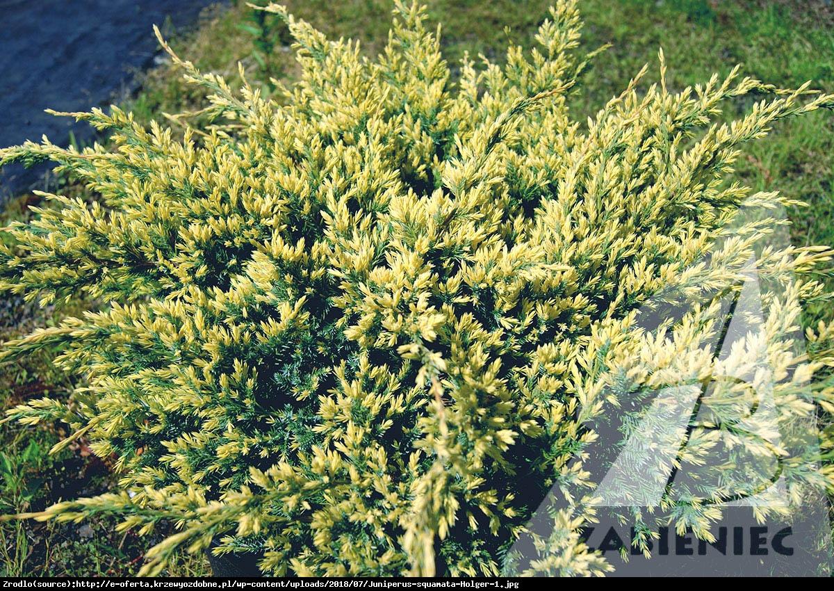 Jałowiec łuskowaty Holger  - Juniperus squamata Holger