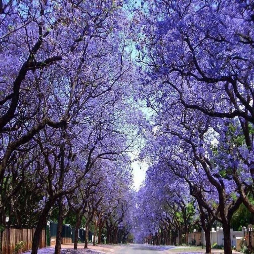 Paulownia puszysta Cesarskie Drzewo Szczęścia - Paulownia tomentosa