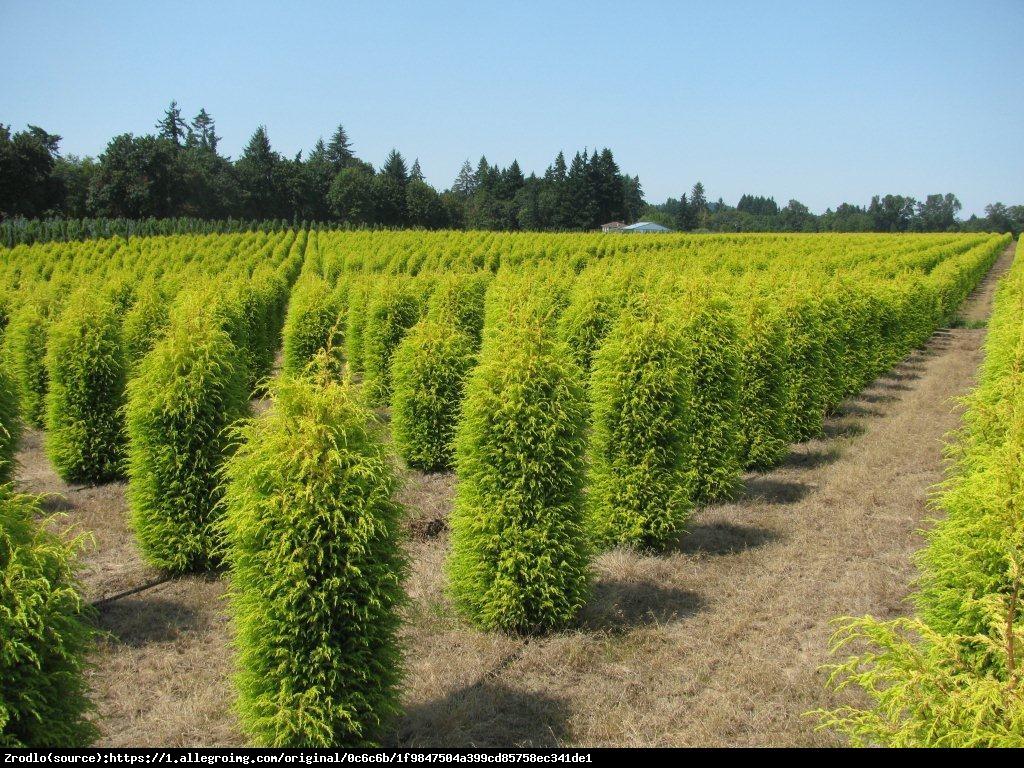 Jałowiec pospolity Gold Cone  - Juniperus communis  Gold Cone