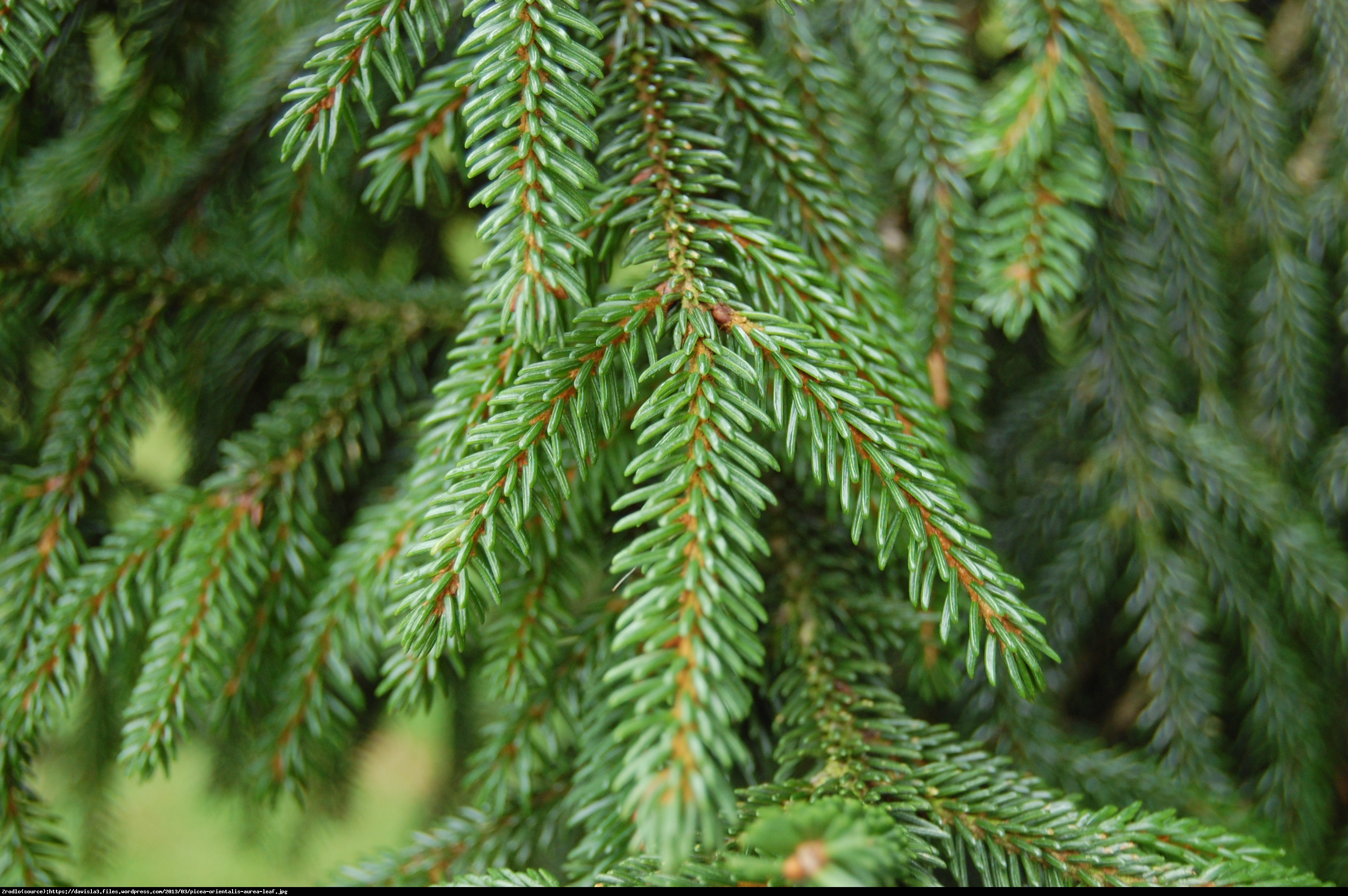 Świerk kaukaski Aurea  - Picea orientalis Aurea
