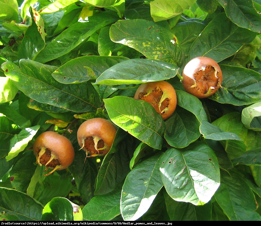 Nieszpułka jadalna - Mespilus germanica
