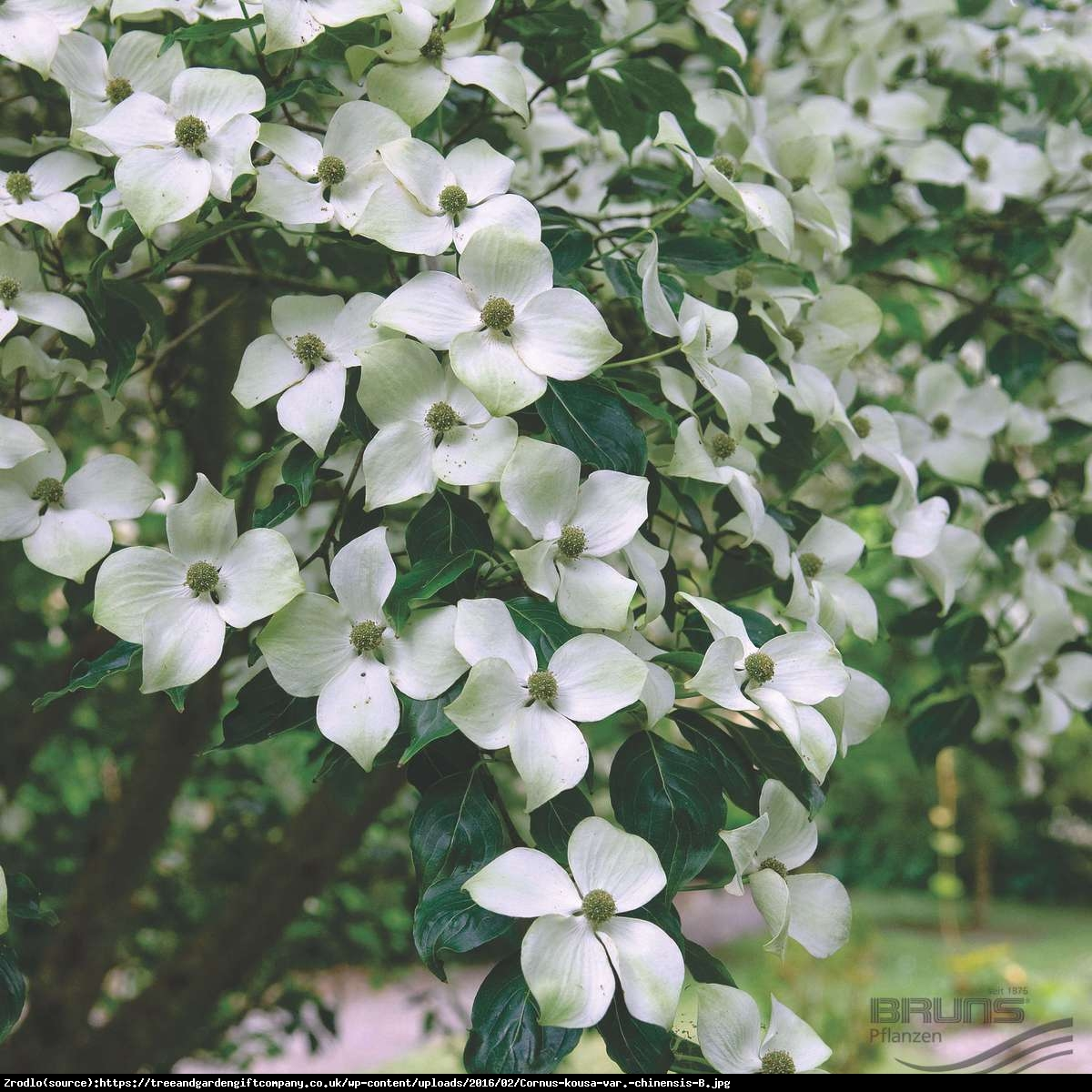 Dereń kousa odmiana chińska P9 - Cornus kousa var. chinensis