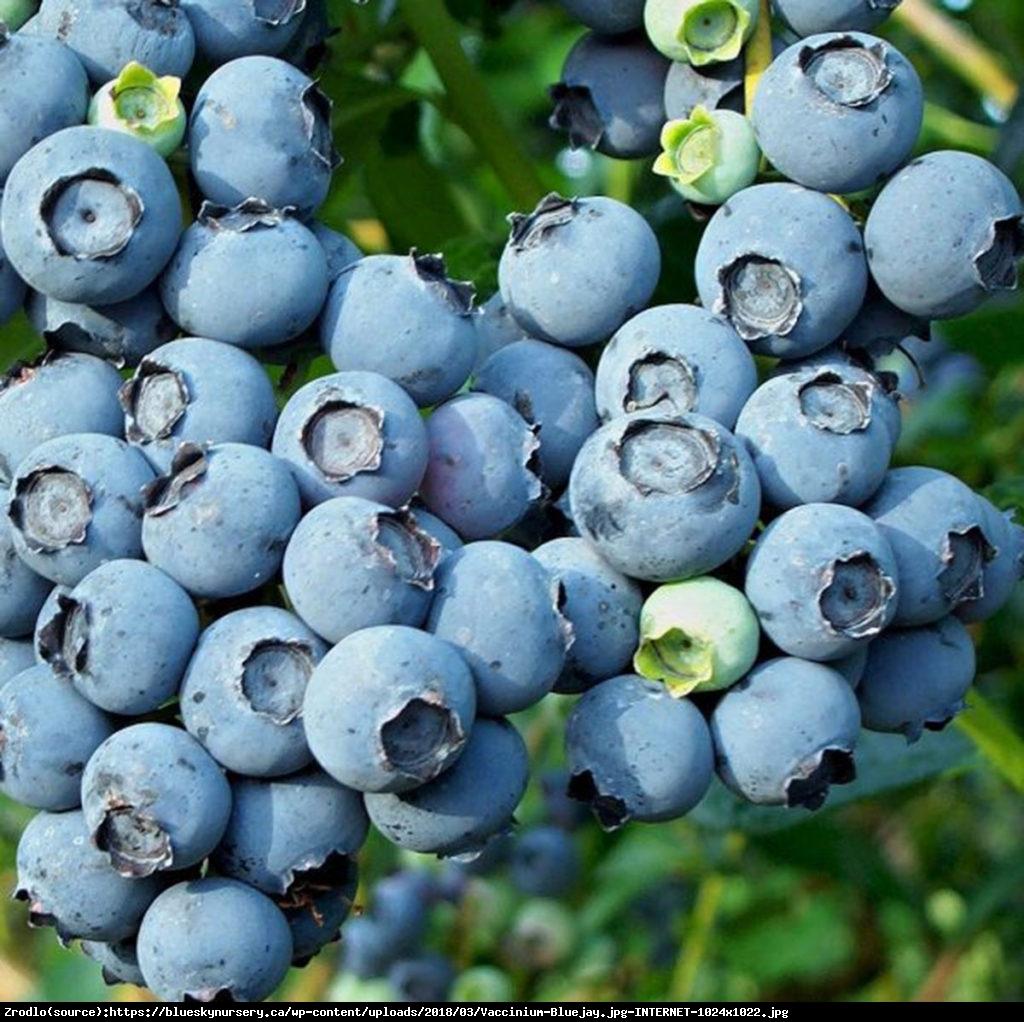 Borówka amerykańska Bluejay 3 letnia - Vaccinium corymbosum Bluejay