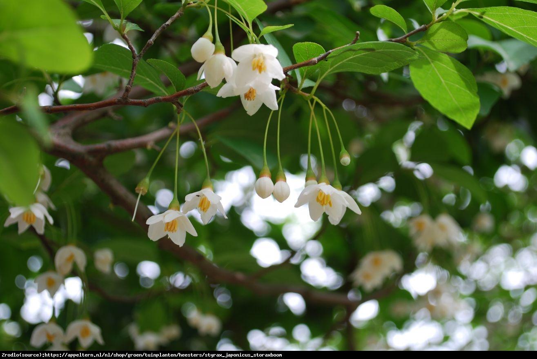 Styrak japoński - Styrax japonicum
