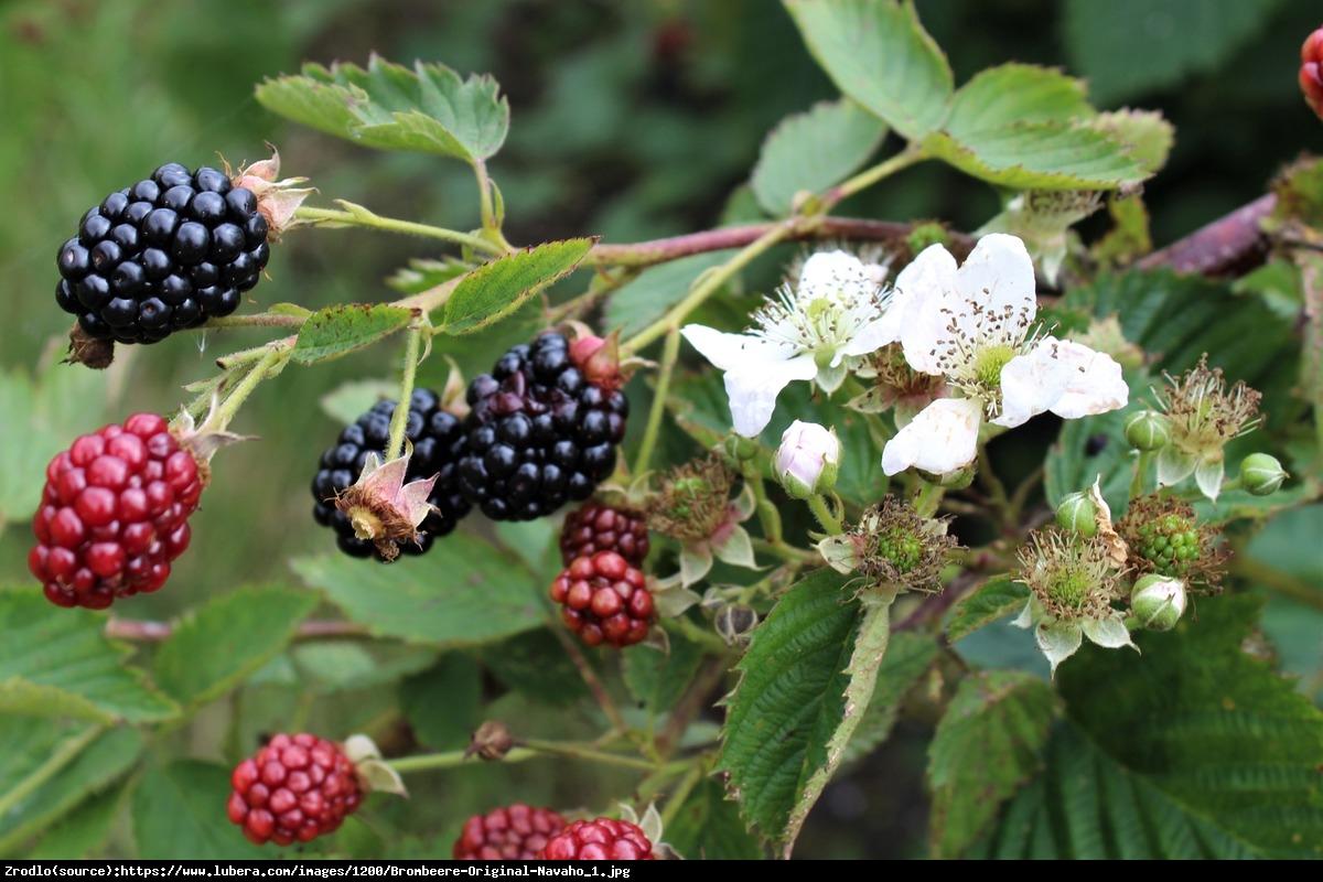 Jeżyna bezkolcowa  Navaho  - Rubus fruticosus Navaho