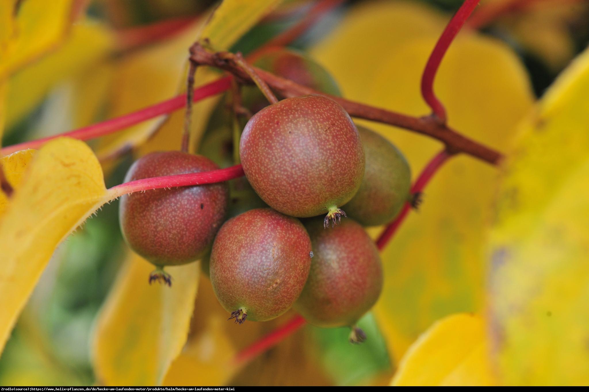 Mini Kiwi Aktinidia ostrolistna Geneva  - Actinidia arguta  Geneva