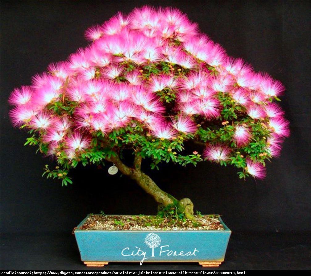 Albicja jedwabista Perska Mimoza - świeci w nocy - Albizia julibrissin