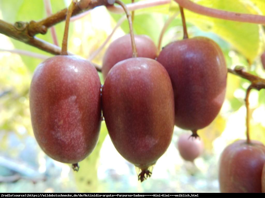 Mini Kiwi Aktinidia ostrolistna Purpurna Sadowa  - Actinidia arguta  Purpurna Sadowa