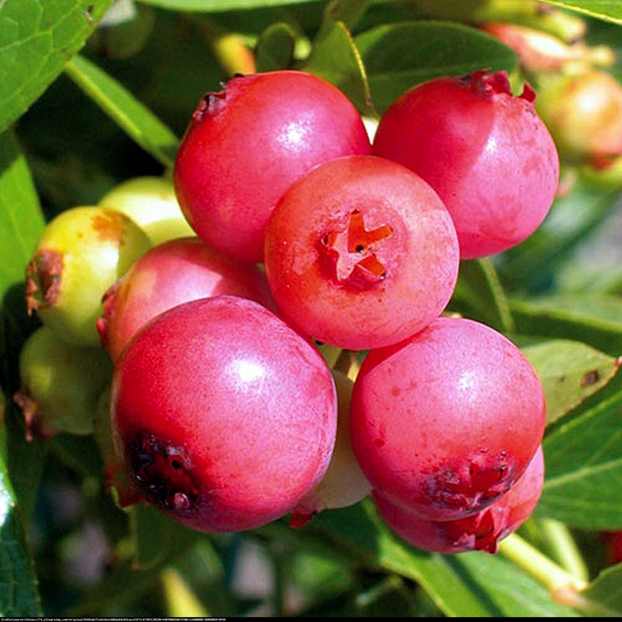 Borówka amerykańska Pink Lemonade 2 letnia - Vaccinium corymbosum Pink Lemonade