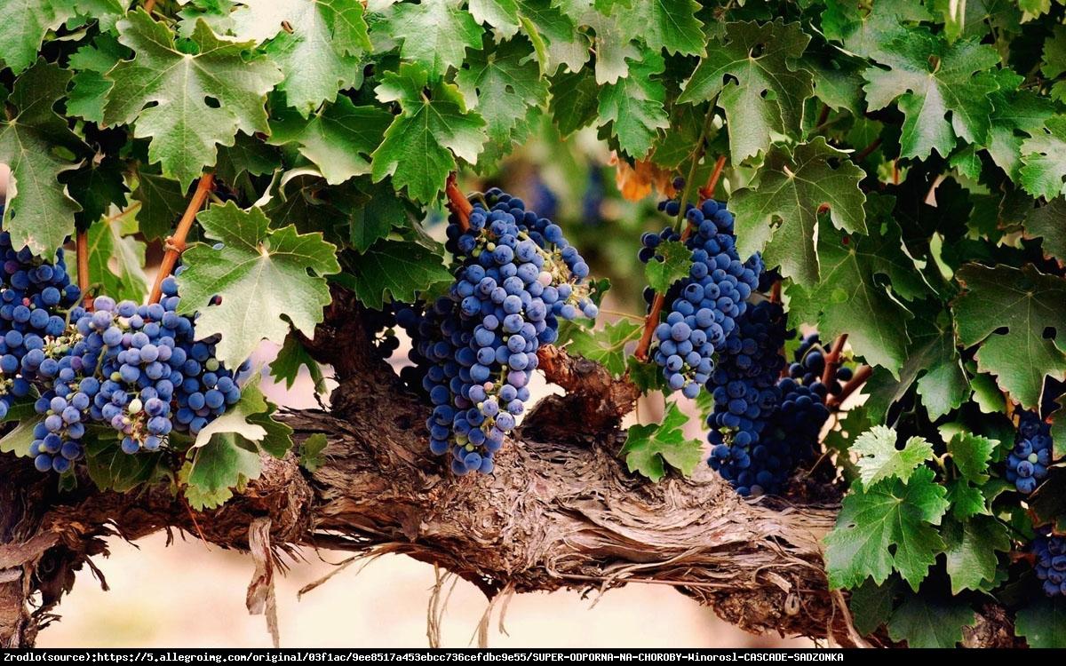 Winorośl Cascade - Vitis Cascade