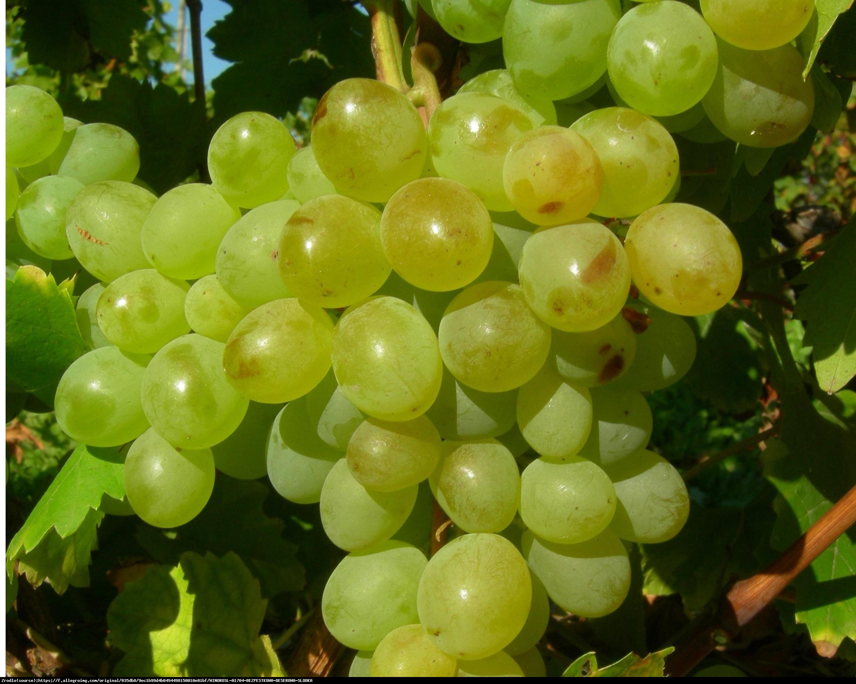 Winorośl Interlaken - Bezpestkowa - Vitis Interlaken