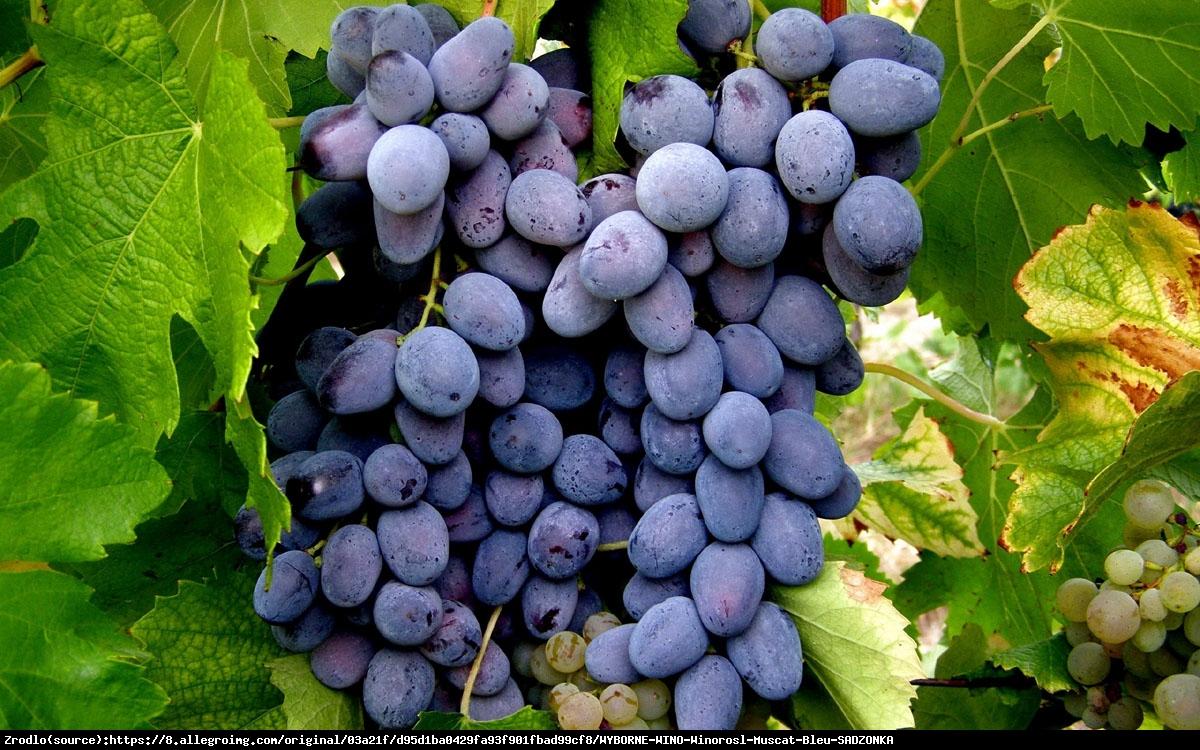 Winorośl Muscat Bleu - Winorośl Muscat Bleu