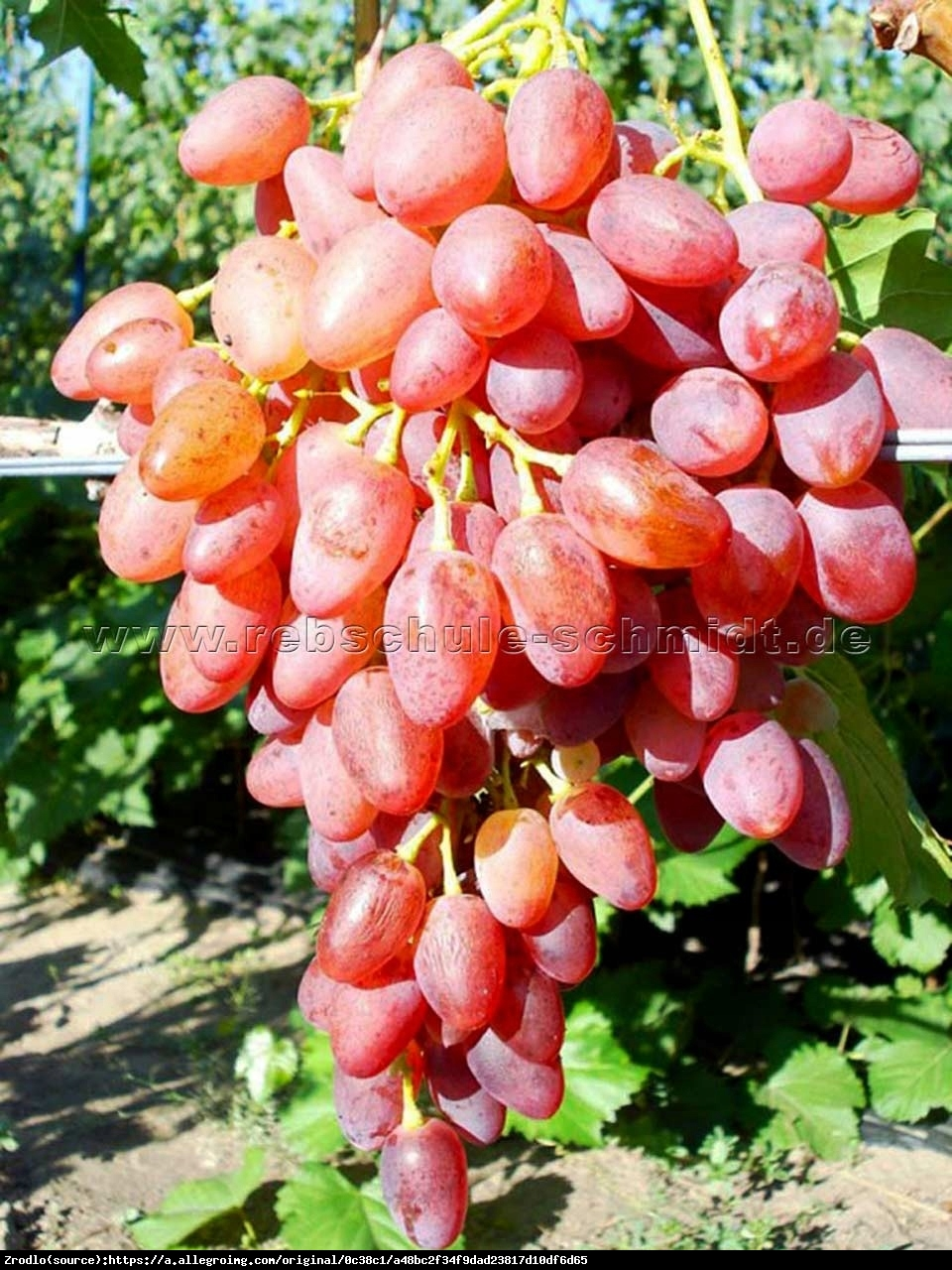 Winorośl Reliance - Bezpestkowe - Vitis Reliance