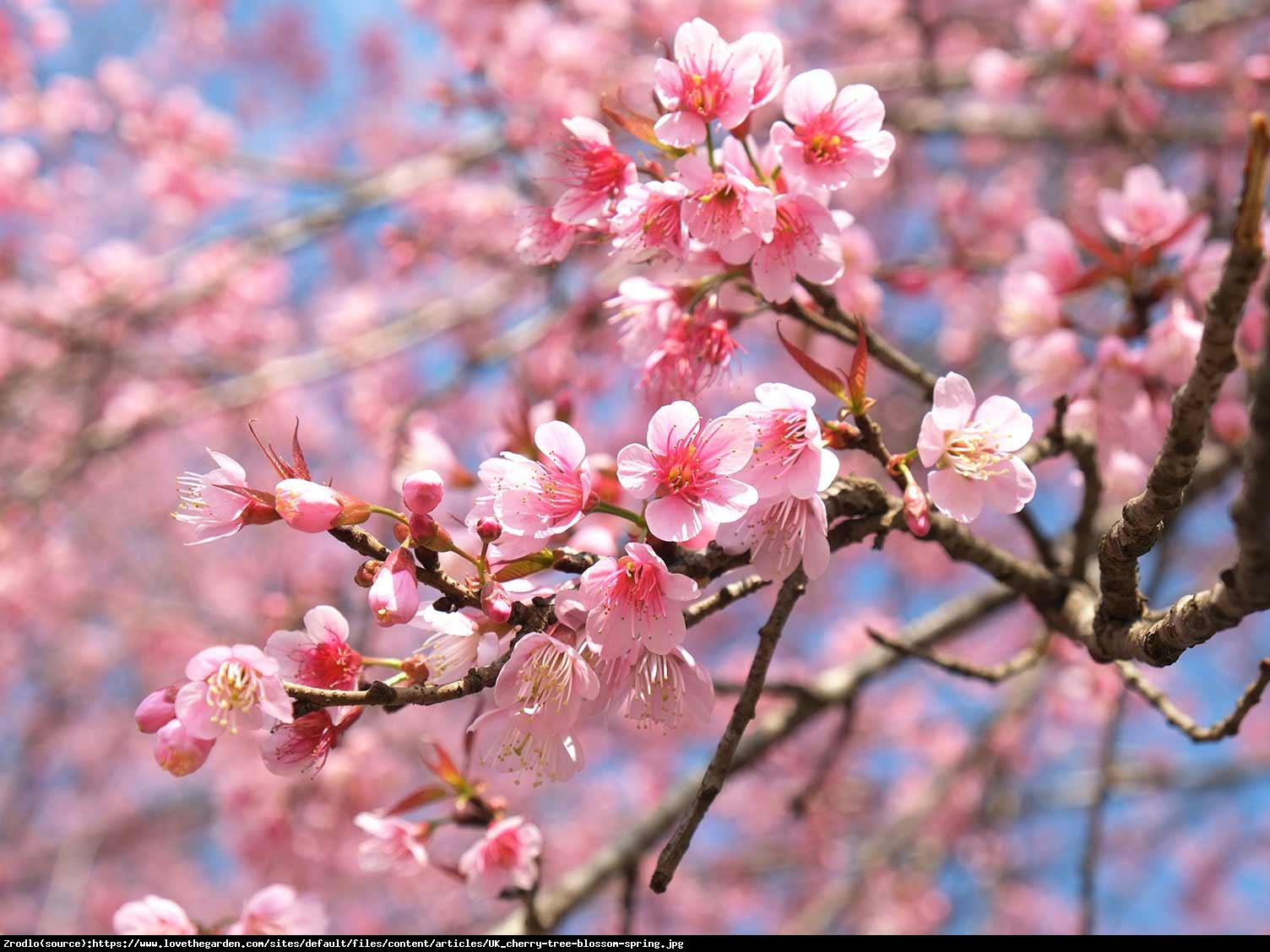 Wiśnia piłkowana Pink Perfection - Prunus serrulata Pink Perfection