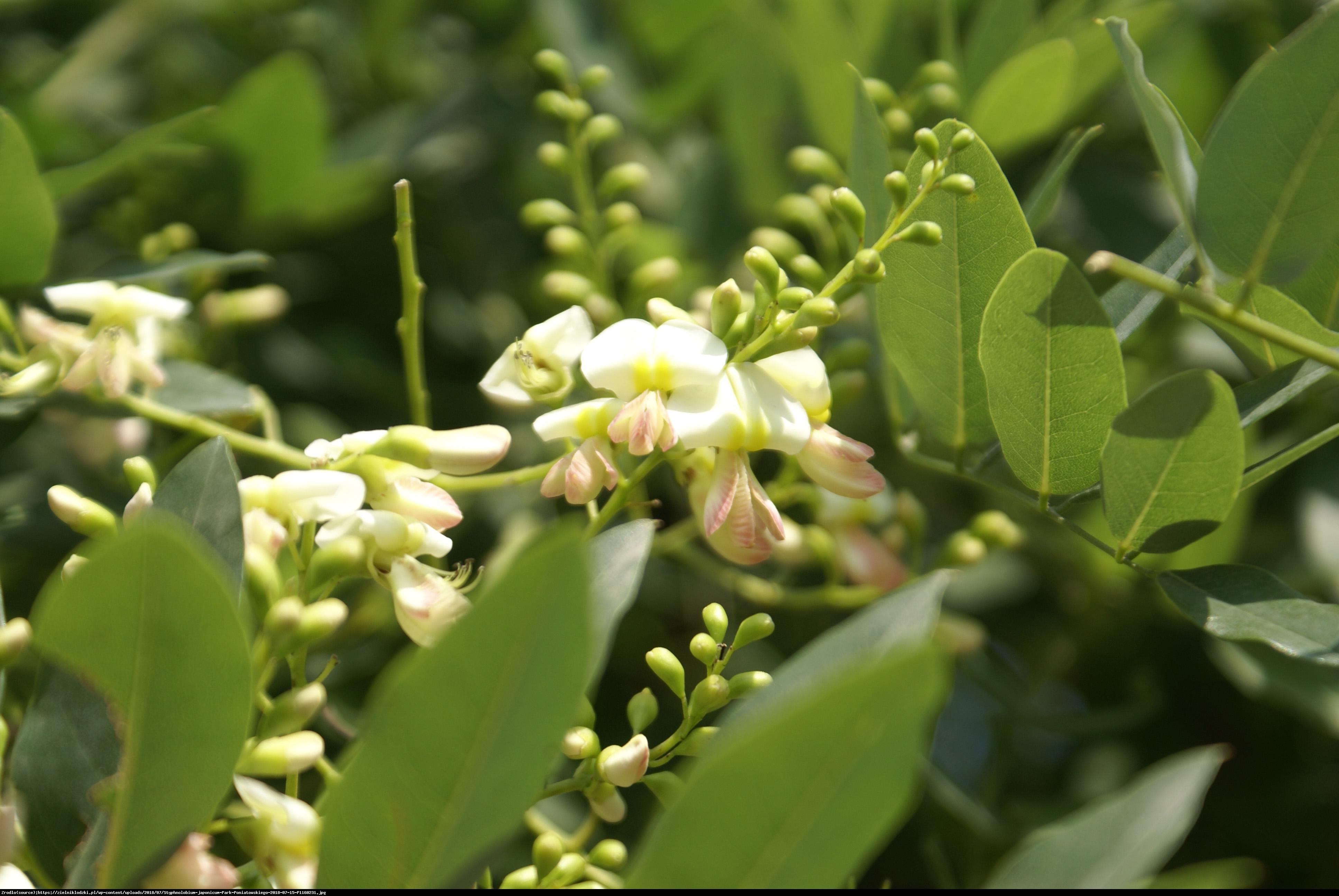 Perełkowiec japoński - Sophora japonica