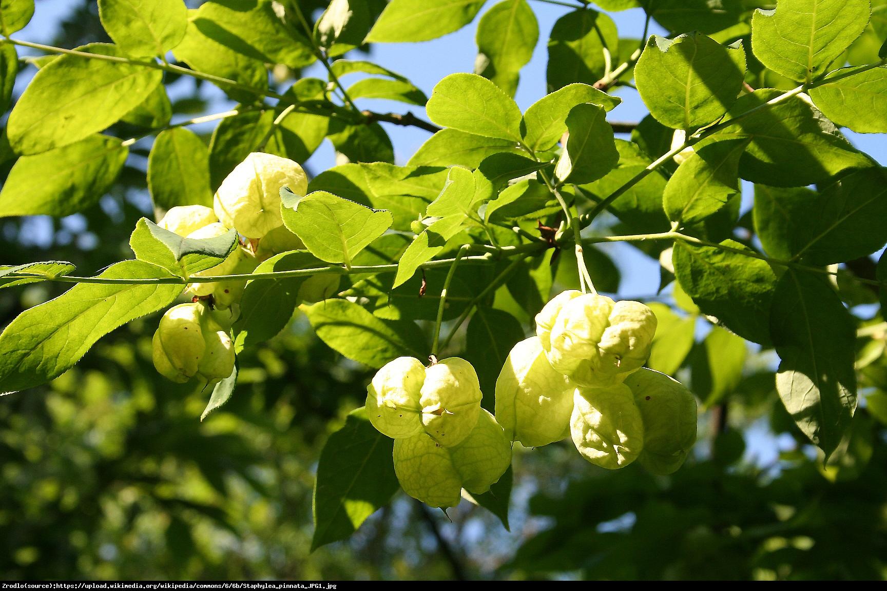 Kłokoczka południowa - krzew różańcowy - Staphylea pinnata