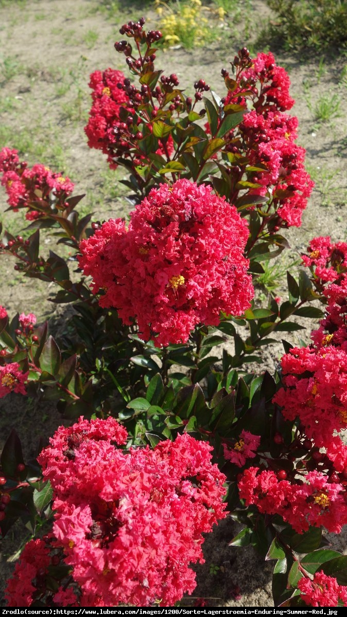 Lagerstremia indyjska 'Petite Red' - Bez Południa - Lagerstroemia  indica 'Petite Red'