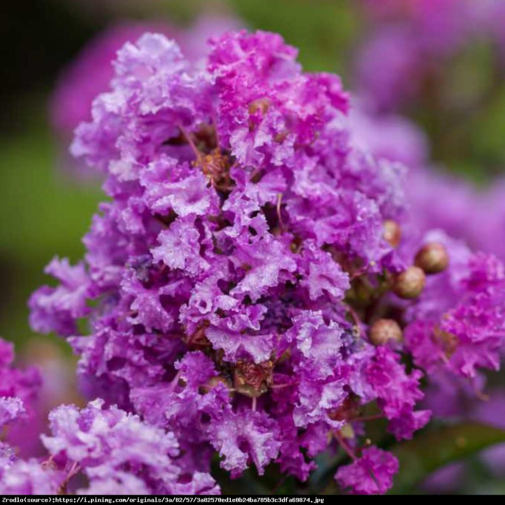 Lagerstremia indyjska 'Petite Orchid' - Bez Południa - Lagerstroemia indica 'Petite Orchid'
