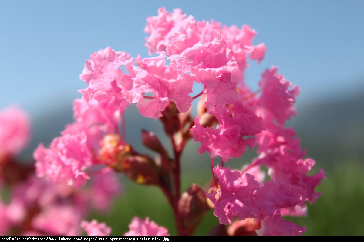 Lagerstremia indyjska 'Petite Pink' - Bez Południa - Lagerstroemia indica 'Petite Pink'
