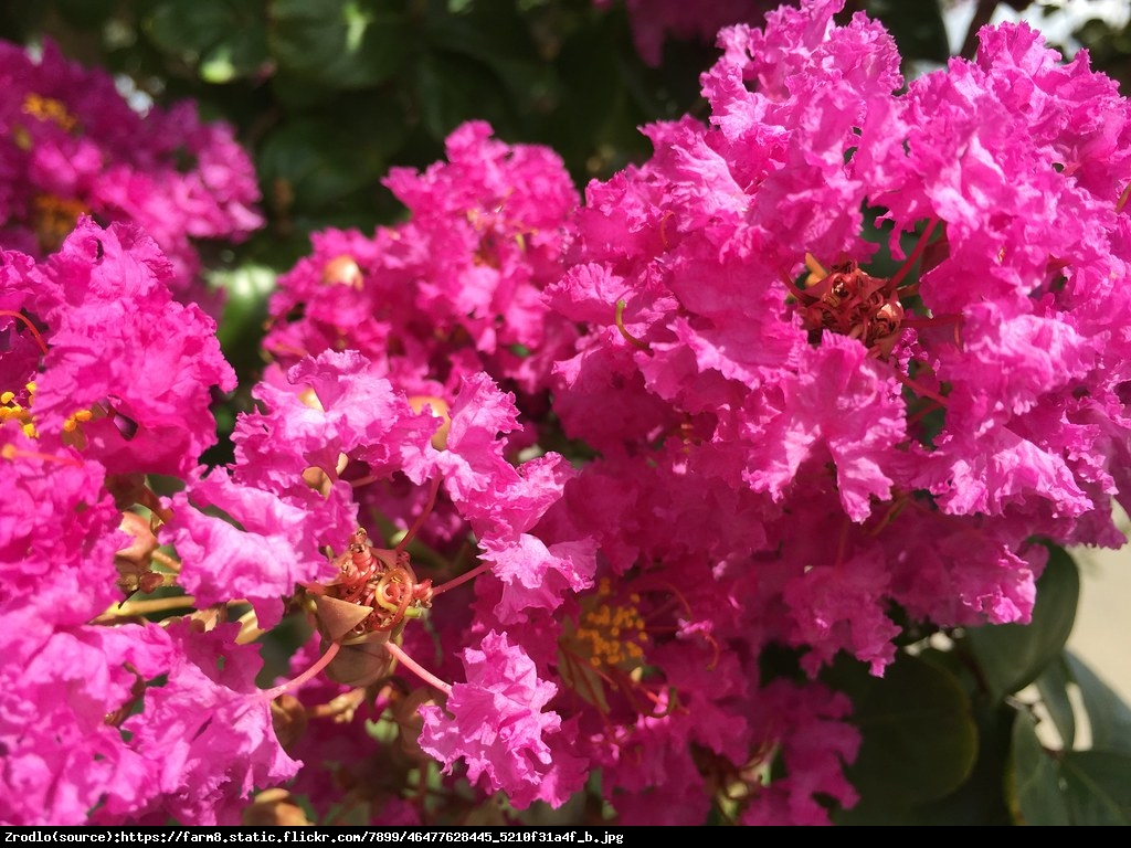 Lagerstremia indyjska 'Magnifica Rosea' - Bez Południa - Lagerstroemia indica 'Magnifica Rosea'