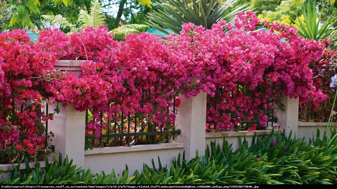 Lagerstremia indyjska Magnifica Rosea - Bez Południa - Lagerstroemia indica Magnifica Rosea
