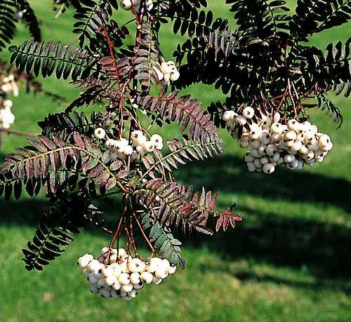 Jarząb kaszmirski - Sorbus cashmiriana