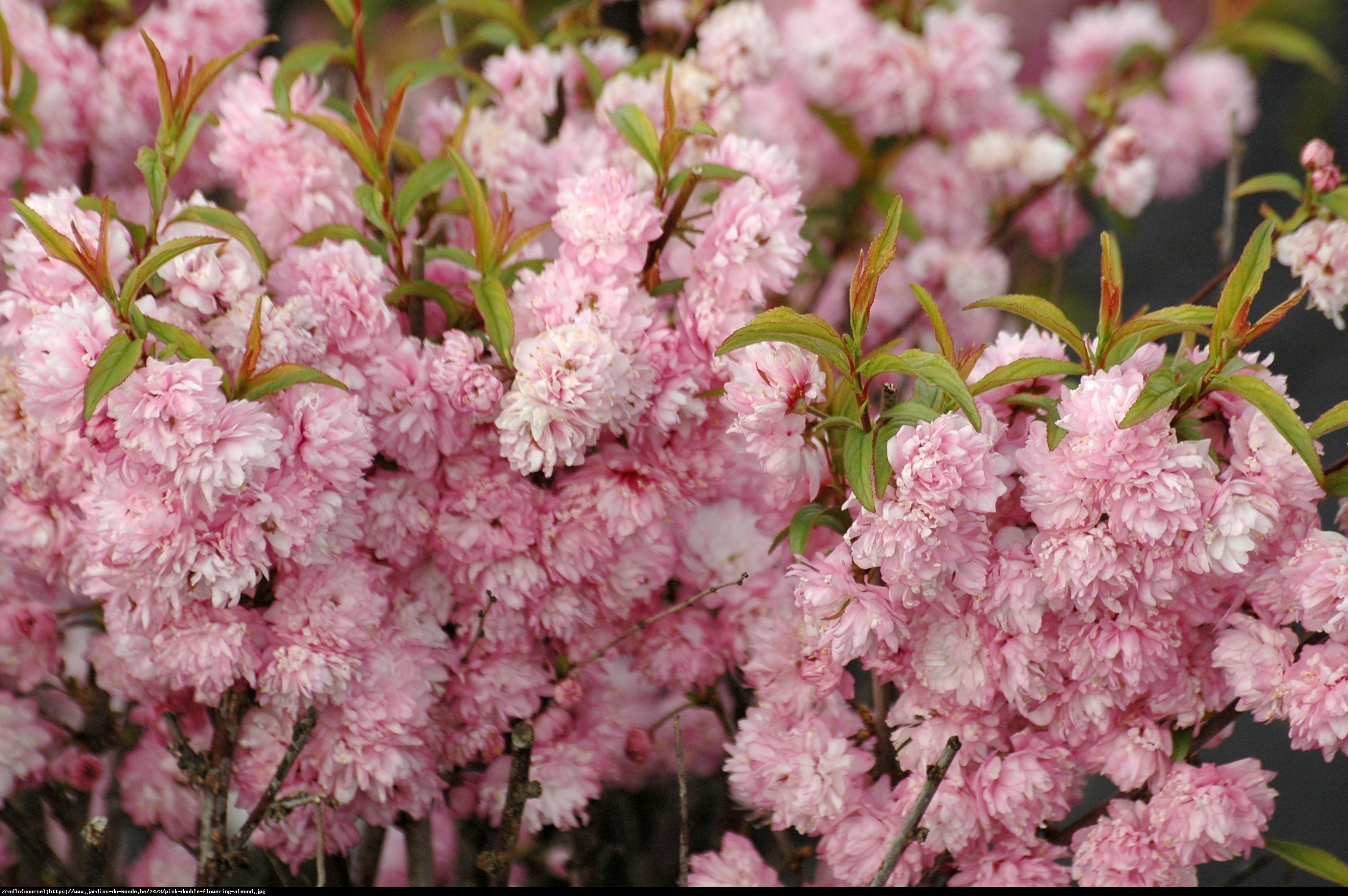 Wiśnia gruczołkowata Rosea Plena - Prunus glandulosa Rosea Plena