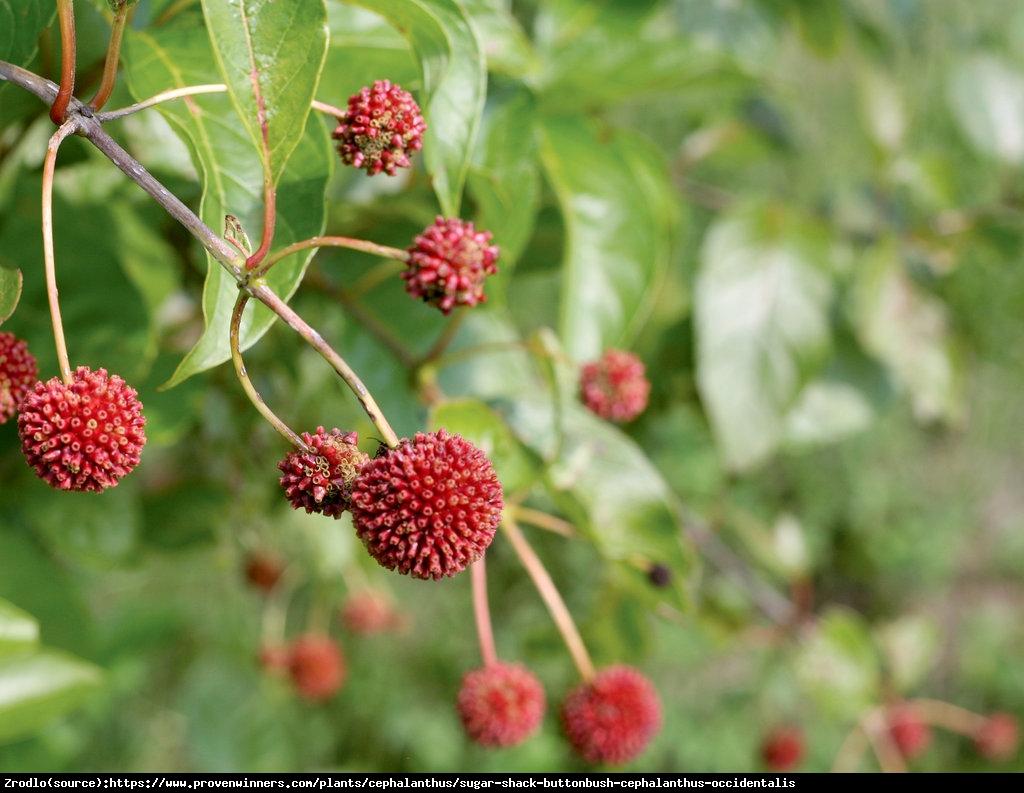 Guzikowiec zachodni - Cephalanthus occidentalis