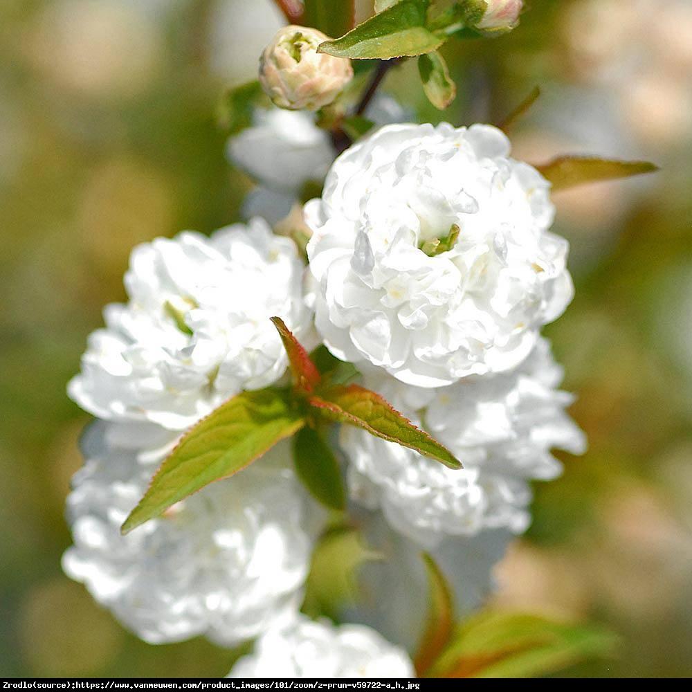 Wiśnia gruczołkowata Alba Plena - Prunus glandulosa Alba Plena