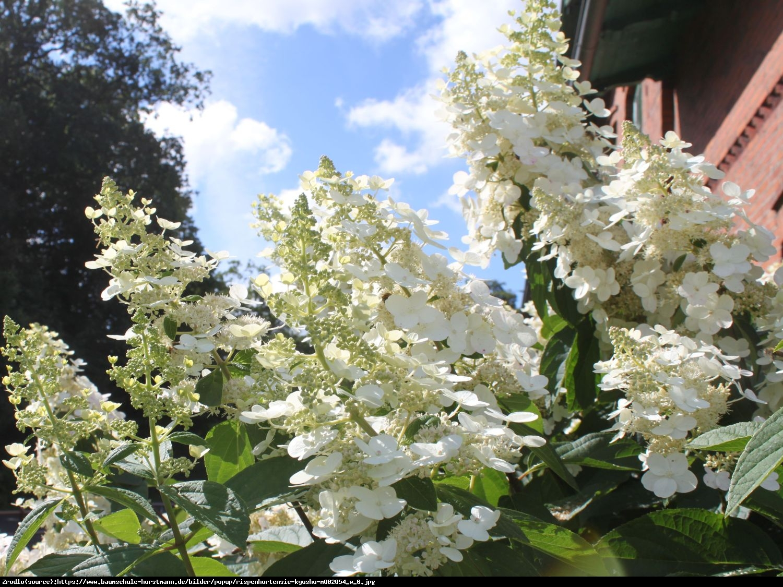 Hortensja bukietowa Kyushu - Hydrangea paniculata Kyushu