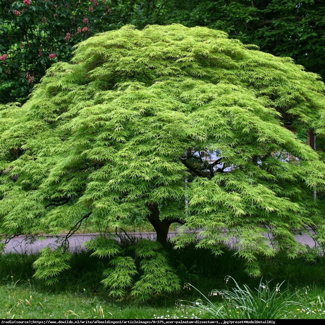 Klon palmowy Disectum - Acer palmatum Disectum