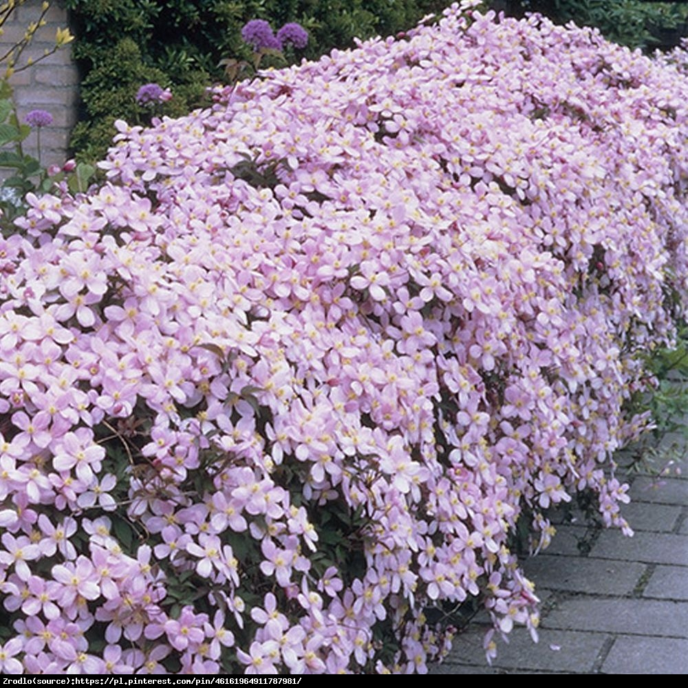 Powojnik górski odmiana różowa - Clematis montana var.rubens