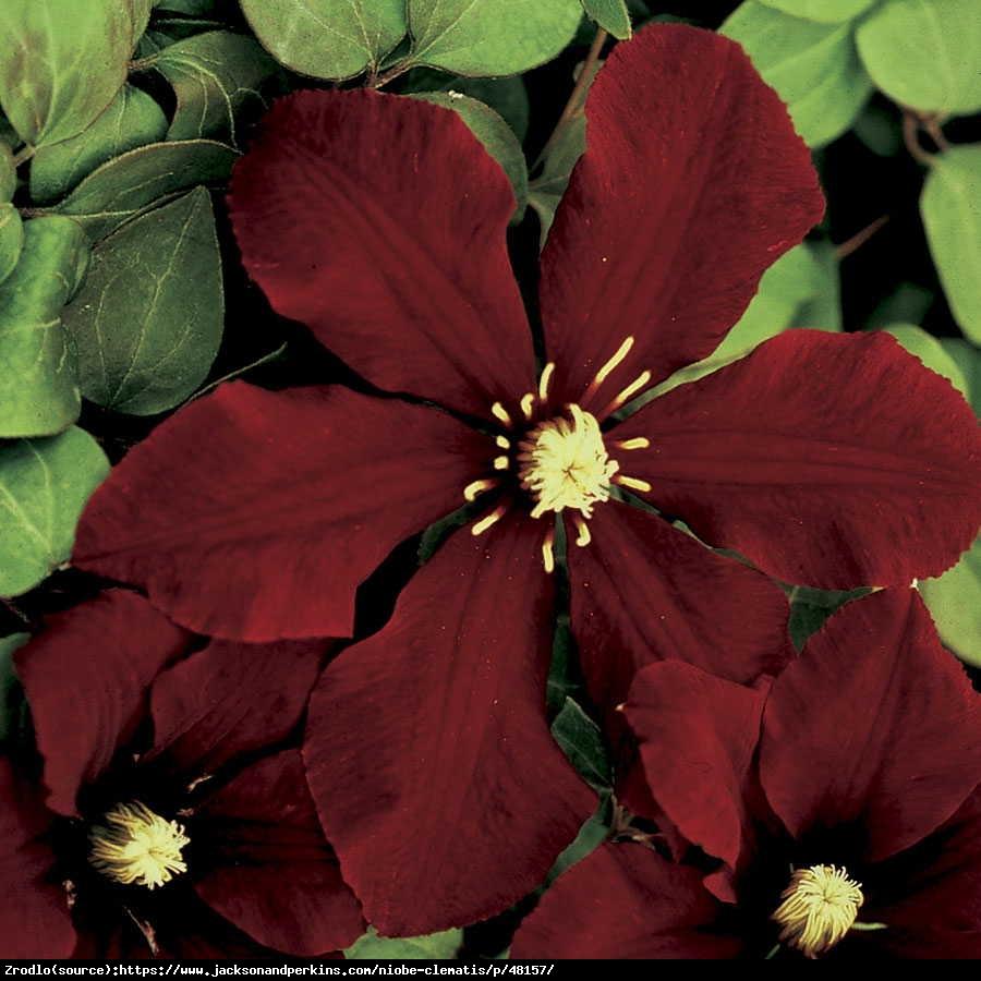 Powojnik Niobe wielkokwiatowy - Clematis Niobe