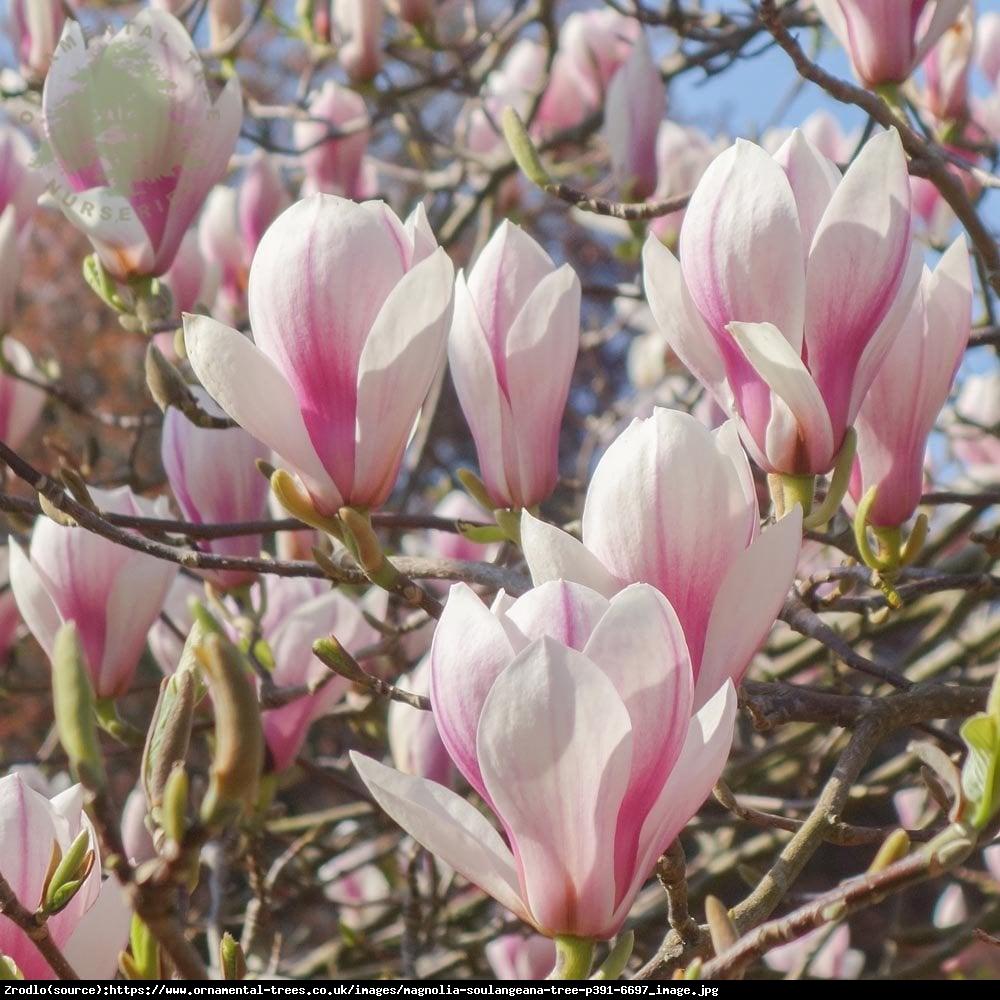 Magnolia pośrednia Soulangeana - Magnolia soulangeana