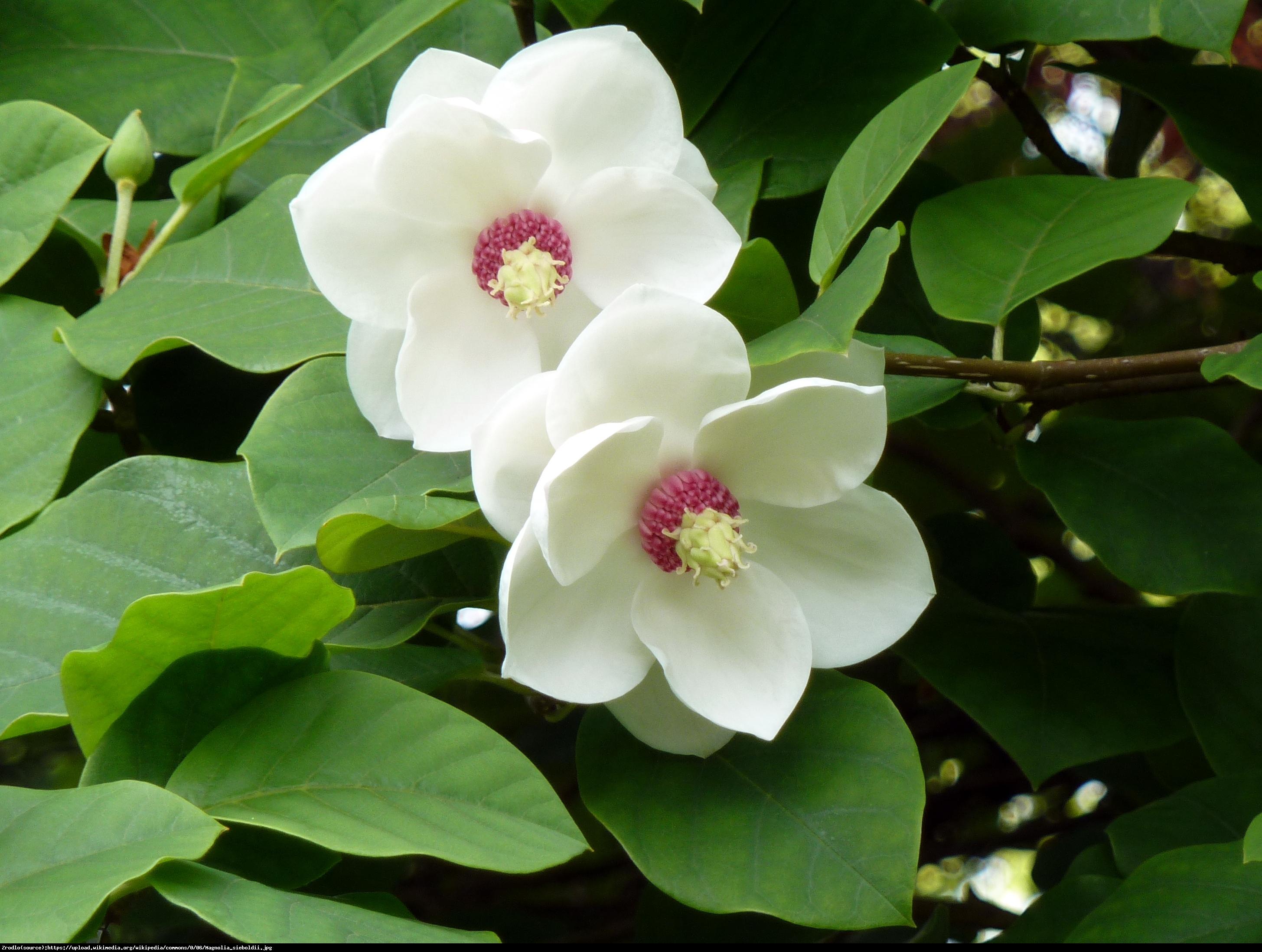 Magnolia Siebolda P9 - Magnolia sieboldi