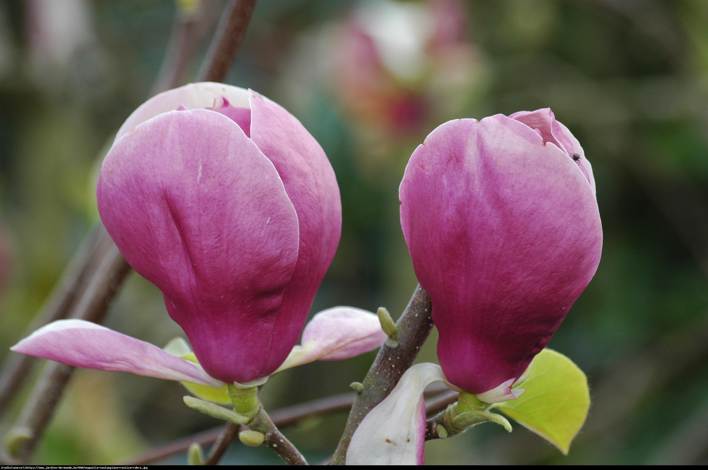 Magnolia pośrednia Rustica Rubra - Magnolia Rustica Rubra