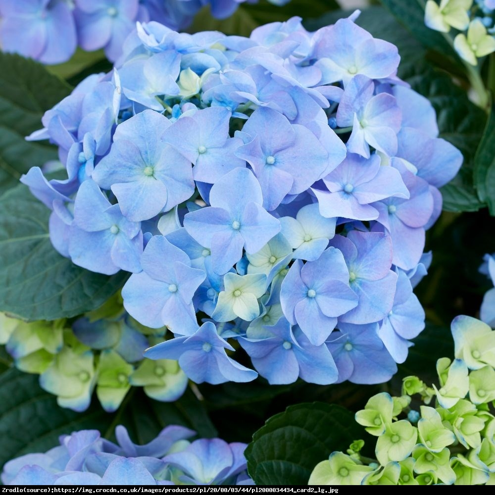 Hortensja ogrodowa Early Blue - Hydrangea macrophylla Early Blue