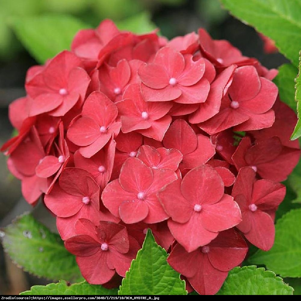 Hortensja ogrodowa Hot Red - Hydrangea macrophylla Hot Red