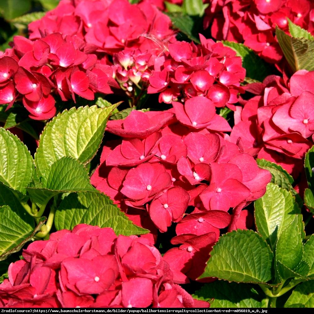 Hortensja ogrodowa Hot Red - Hydrangea macrophylla Hot Red